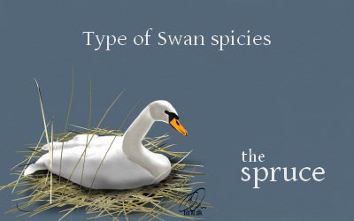 The Spruce Swan Species
